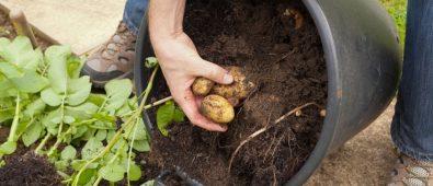 Harvest potato