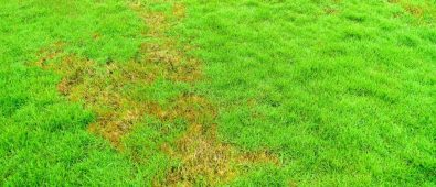 How to Apply Cornmeal to Lawn