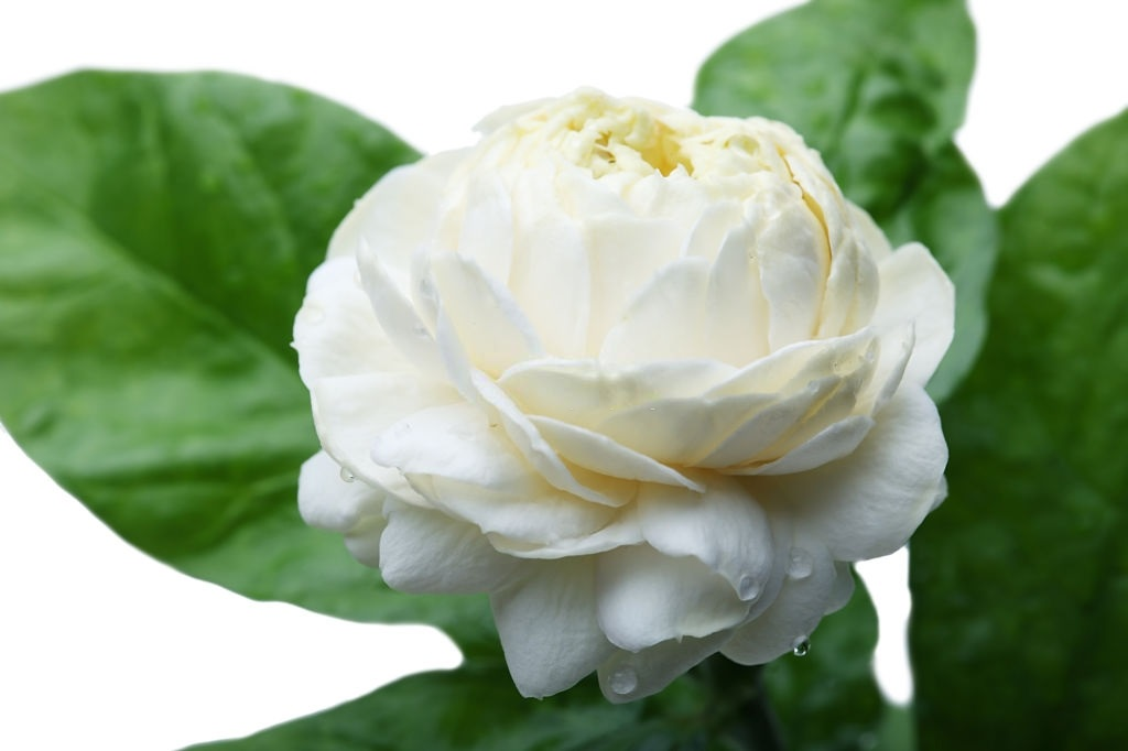 Jasmine sambac flower