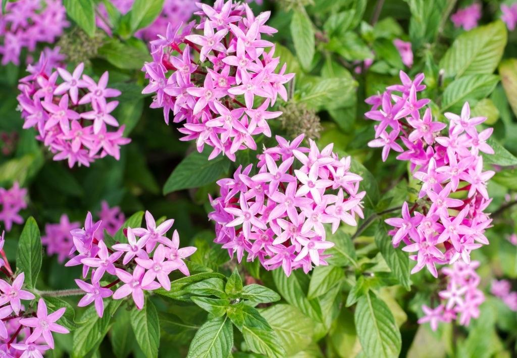 pink jasmine flowers