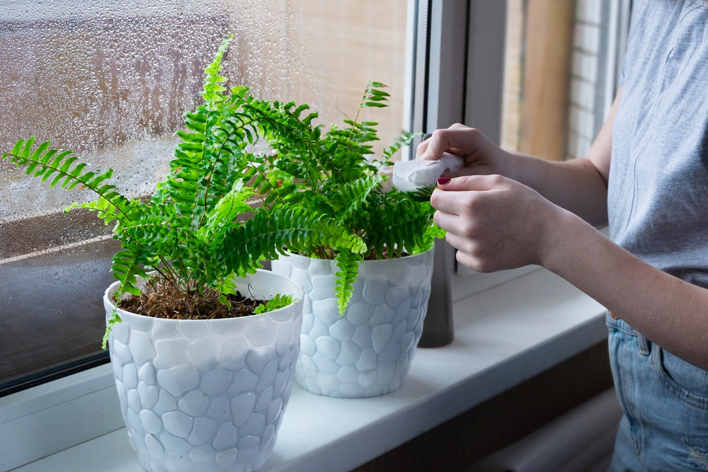 Fern Houseplant