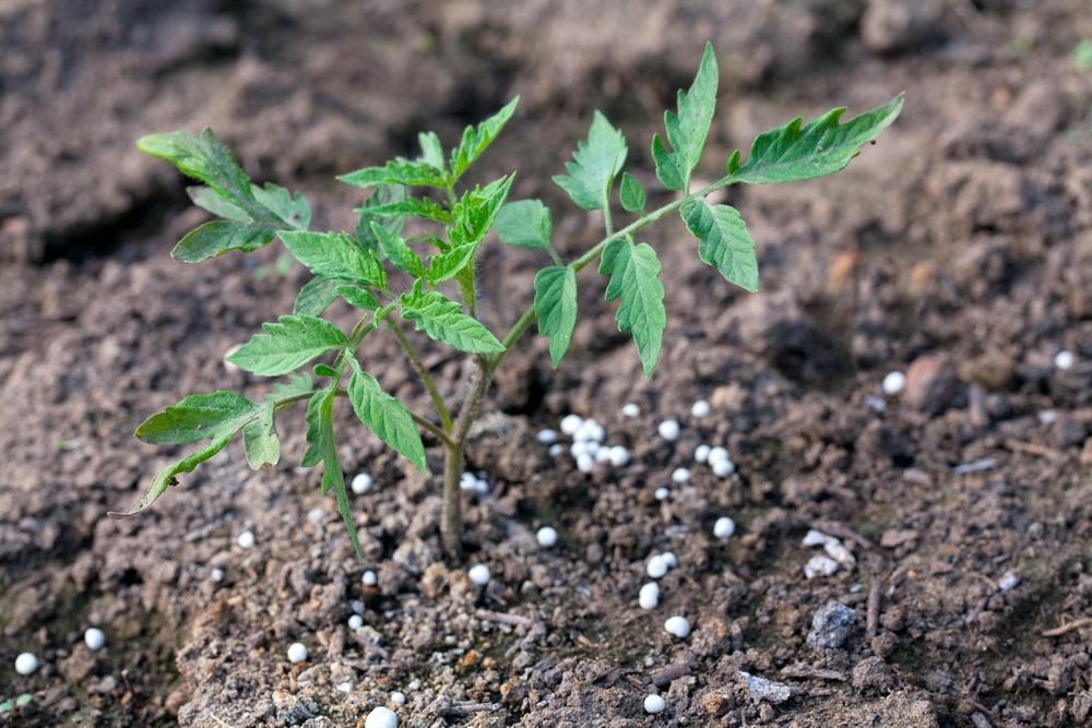 omato Plants