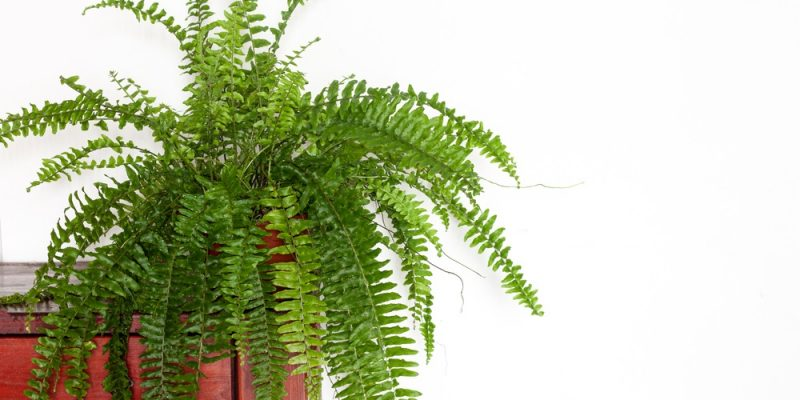 How To Take Care Of A Fern Houseplant