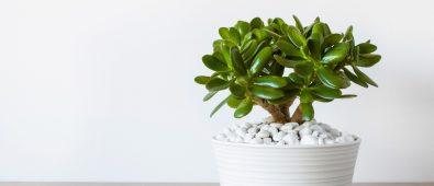 Bonsai a Jade Plant
