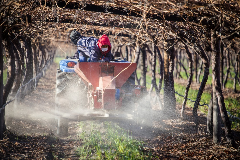 Close up image of farm workers putting down fertilizer in a block of table grapes in south africa