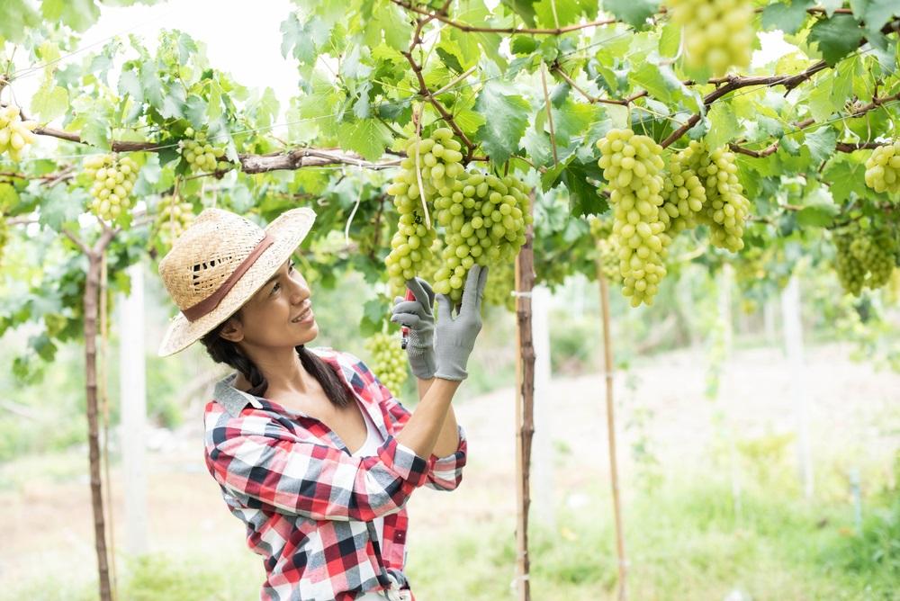 Fertilize Grapevines