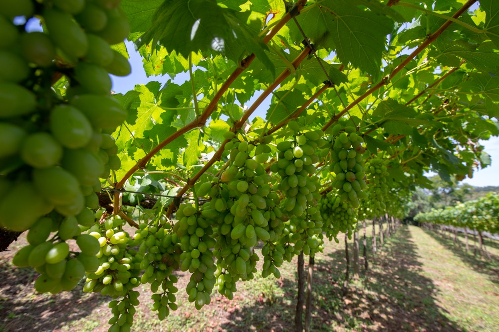 How To Fertilize Grapevines