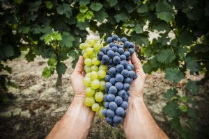 Taking Care Of Grape Plants