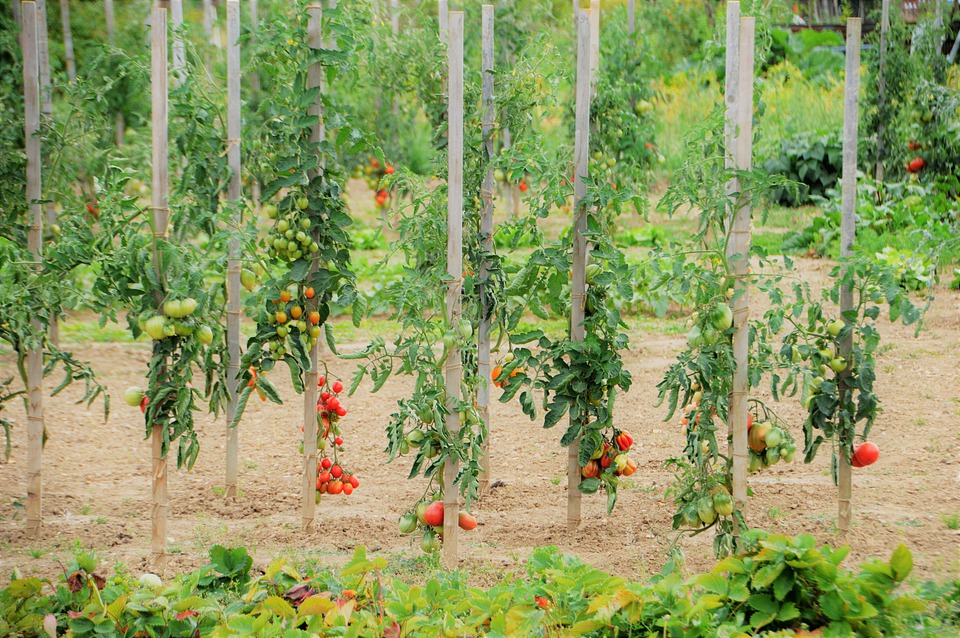 best mulch for tomatoes