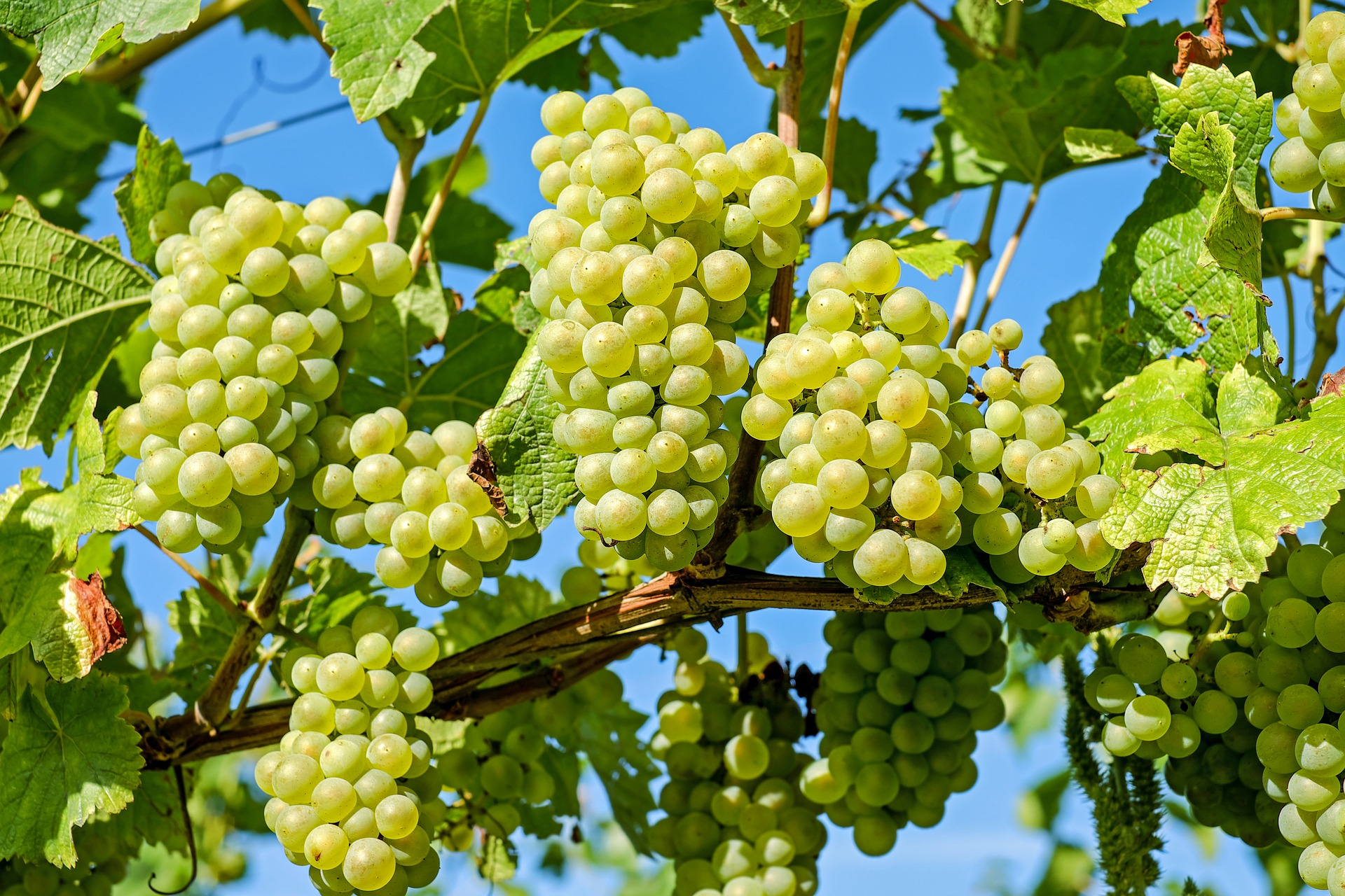 A Bunch Of Fun Facts About Grapes